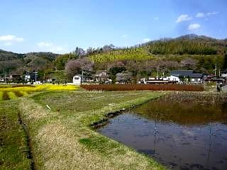 20150418花見山(その36)