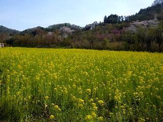20150418花見山(その37)