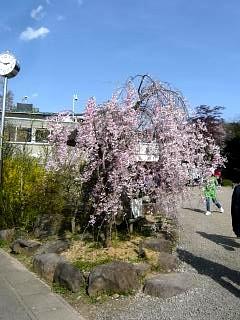 20150418花見山(その38)