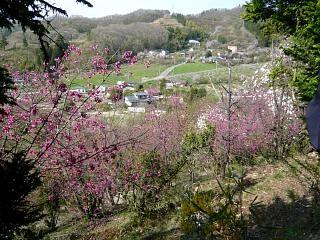 20150418花見山(その48)