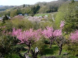 20150418花見山(その61)