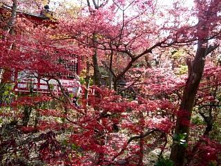 20150418花見山(その66)