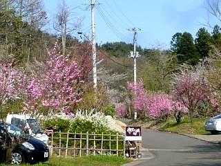 20150418花見山(その81)