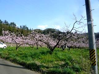 20150418花見山(その82)