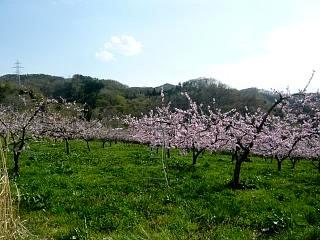20150418花見山(その83)