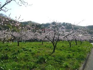 20150418花見山(その86)