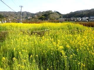20150418花見山(その88)