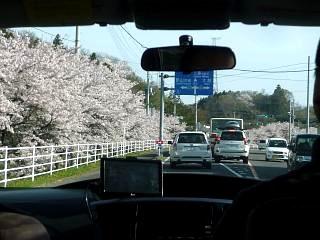 20150419通勤路の桜(その1)