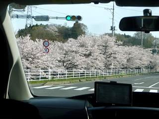 20150419通勤路の桜(その3)