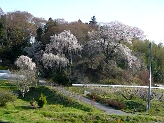 20150419通勤路の桜(その4)