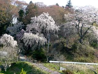 20150419通勤路の桜(その5)