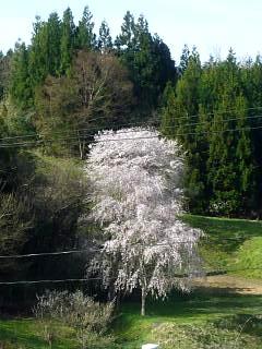 20150419通勤路の桜(その7)