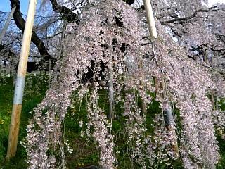 20150419三春滝桜(その16)