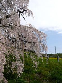 20150419三春滝桜(その18)