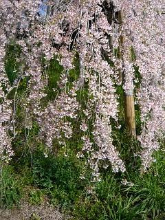 20150419三春滝桜(その21)