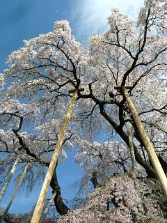 20150419三春滝桜(その22)