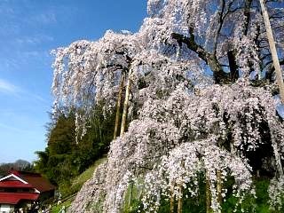 20150419三春滝桜(その25)
