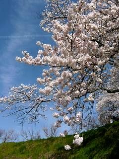 20150419三春滝桜(その45)