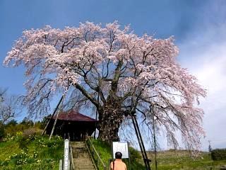 20150419不動桜(その14)