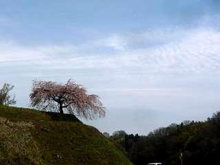 20150419紅枝垂地蔵桜(その9)