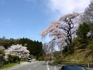 20150419紅枝垂地蔵桜(その10)