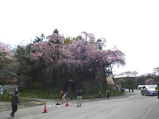 20150419紅枝垂地蔵桜(その11)