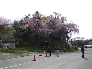 20150419紅枝垂地蔵桜(その12)