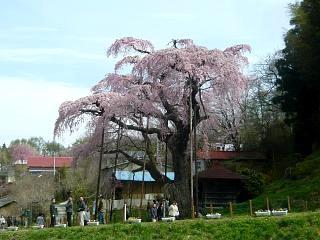 20150419紅枝垂地蔵桜(その14)