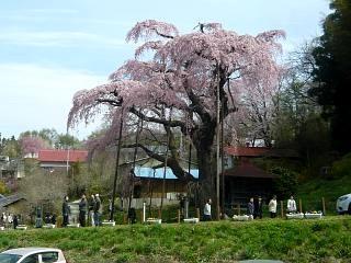 20150419紅枝垂地蔵桜(その15)