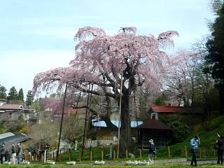 20150419紅枝垂地蔵桜(その16)