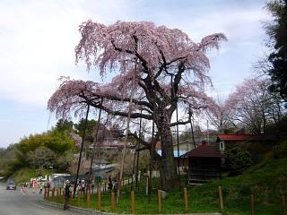 20150419紅枝垂地蔵桜(その17)