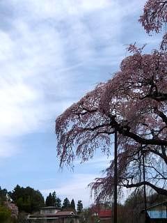 20150419紅枝垂地蔵桜(その18)