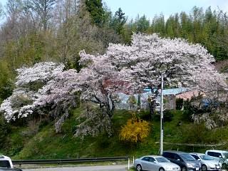 20150419是哉寺地蔵桜(その1)