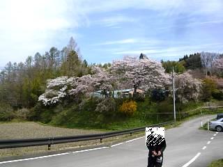 20150419是哉寺地蔵桜(その2)