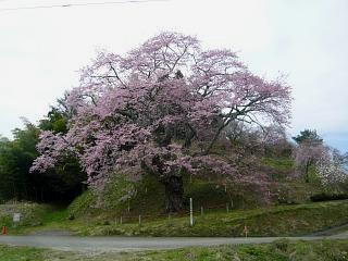 20150419是哉寺地蔵桜(その3)
