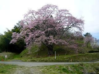20150419是哉寺地蔵桜(その4)