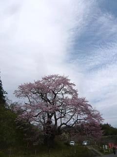 20150419是哉寺地蔵桜(その8)