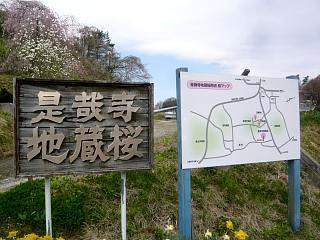 20150419是哉寺地蔵桜(その10)