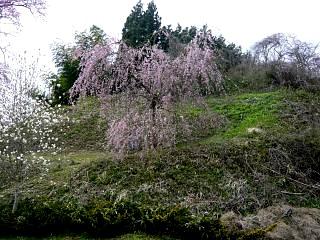 20150419妙典桜(その01)