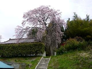 20150419妙典桜(その03)