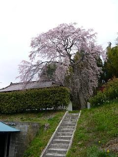 20150419妙典桜(その04)