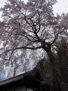 20150419妙典桜(その05)