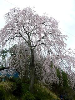 20150419妙典桜(その09)