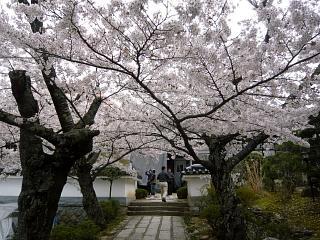 20150419福聚寺の桜(その16)