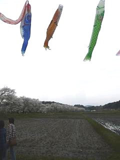 20150419夏井の千本桜1(その20)