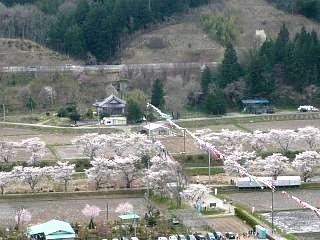 20150419夏井千本桜2(その41)