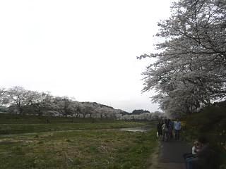 20150419夏井千本桜2(その46)