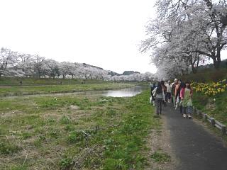20150419夏井千本桜2(その47)