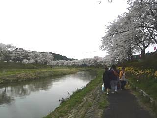 20150419夏井千本桜2(その49)