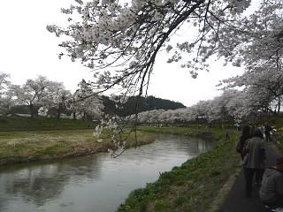 20150419夏井千本桜2(その50)